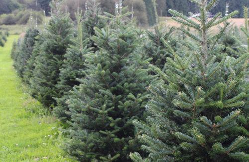 Weihnachtsbaum Nadeln.Nordmanntanne Blaufichte Frasertanne Fichte Koreatanne