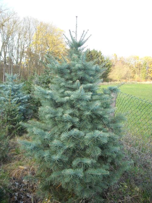 Fichte als weihnachtsbaum haltbarkeit